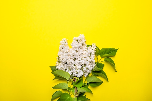White lilac flowers on yellow background.