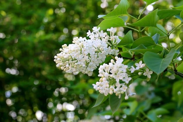 부드러운 선택 초점이 있는 정원 봄 배경의 흰색 라일락