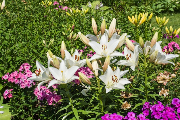 White lilies and different flowers in the summer garden.