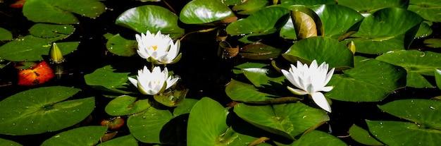 川の白いユリ、小さな湖の睡蓮。水に浮かぶユリ。美しいprk、庭、植物園。ウェブバナー