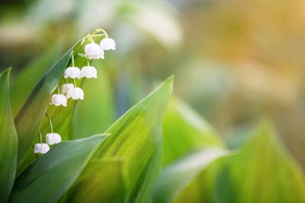 White lilies of the valley early in the morning. horizontal photography