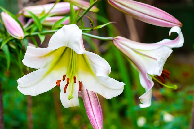 White lilium regale closeup