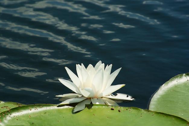 Цветок белой лилии в воде.
