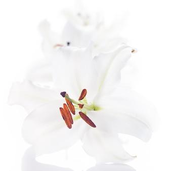 白い背景で隔離の白いユリの花