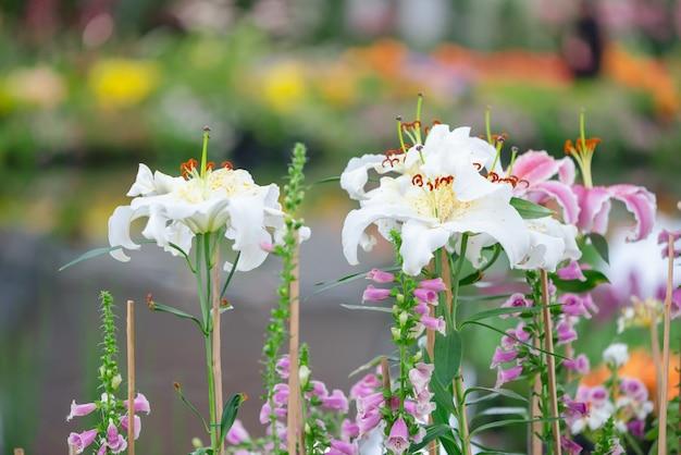 白いユリの庭、ユリの花、ユリ
