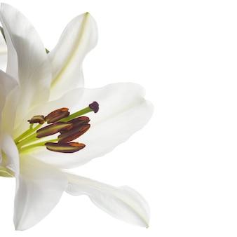 白いユリ、一輪の花がクローズアップ、白で隔離