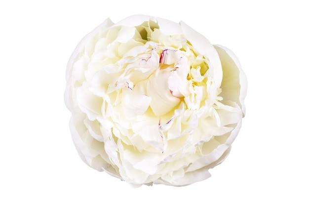 白い背景に分離された白いユリの著名な牡丹の花