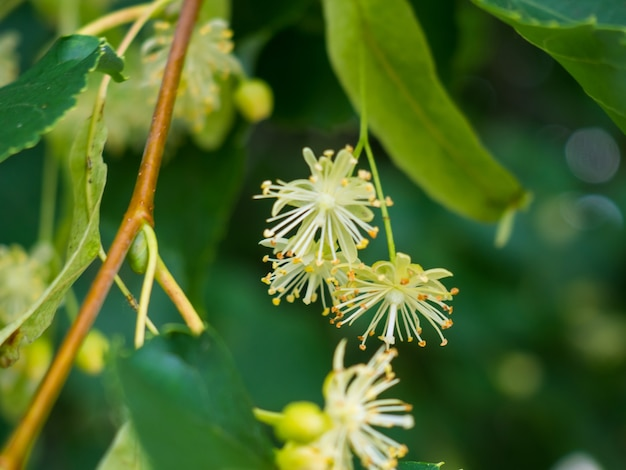 White linden flowers on a background of green leaves. flowers blossoming tree linden wood, used for the preparation of healing tea, natural background