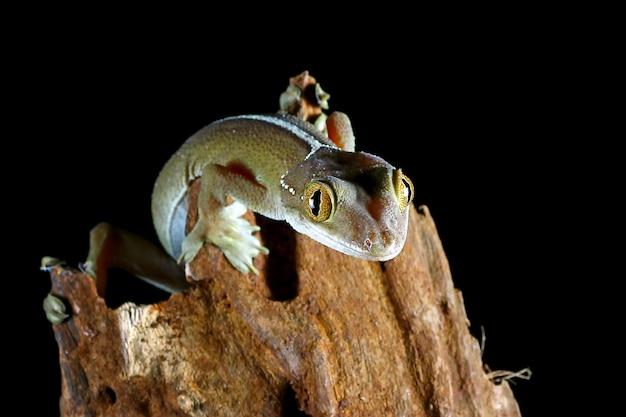 Белая линия геккон ящерица