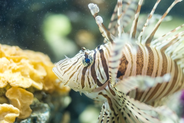 White line lionfish