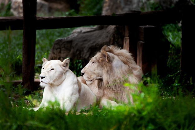 The white lion, bleached lion.