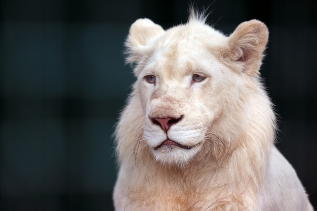 White lion looks sad in the direction of