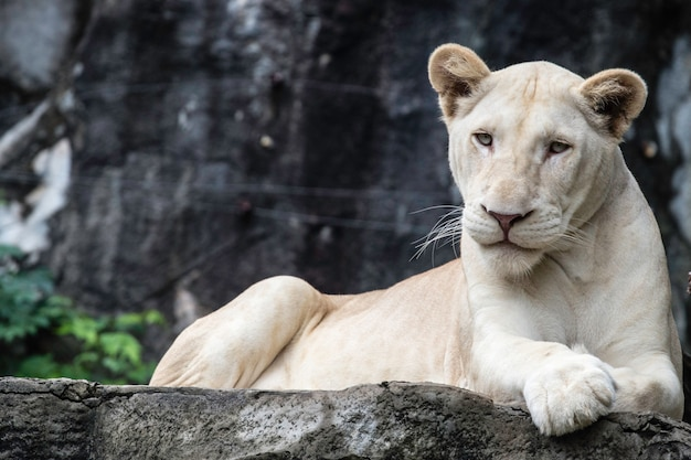 岩の上の白いライオン