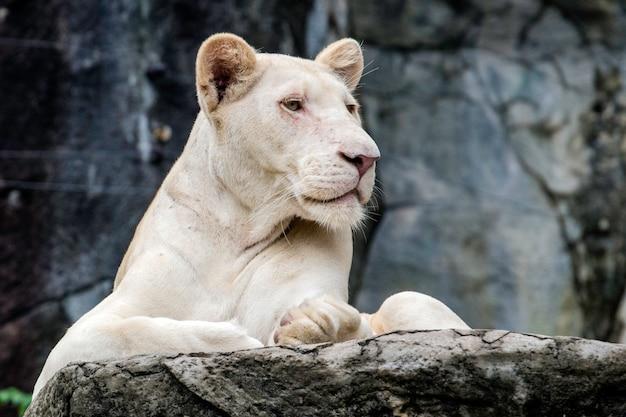 Белый лев на скале