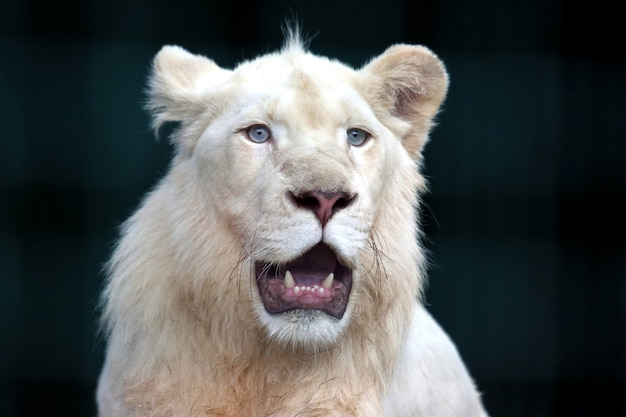 The white lion with wide open mouth