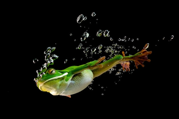 White lipped tree frog diving