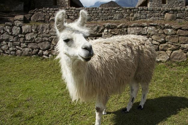 페루에서 흰색 라마 닫기 ap