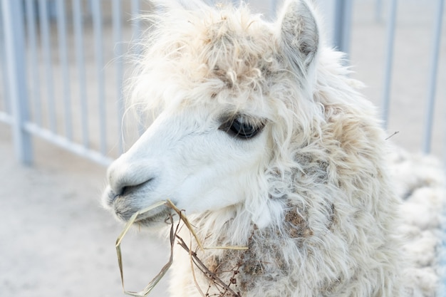White llama eats grass