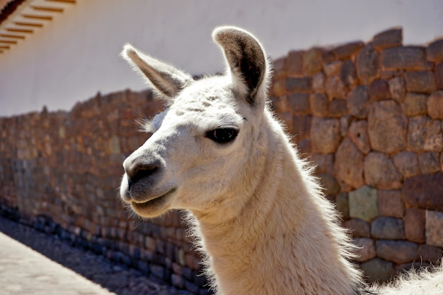 White llama looks closely at the camera under the sun in the streets of cusco, perú