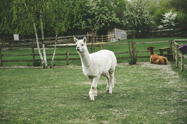 White llama walking and a brown llama sitting on grass in a park