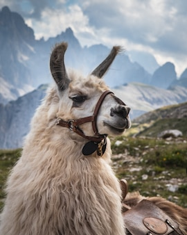 A white llama with blurred mountains