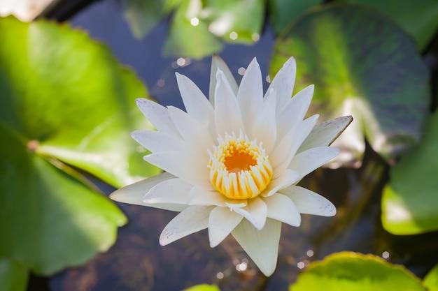 Белый лотос цветок красивый лотос.