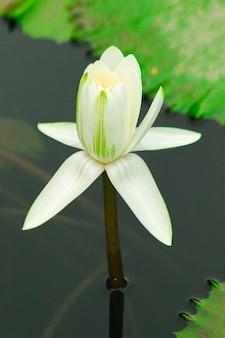 호수에 흰 연꽃
