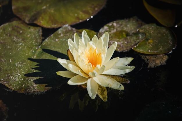 Цветок белого лотоса на воде