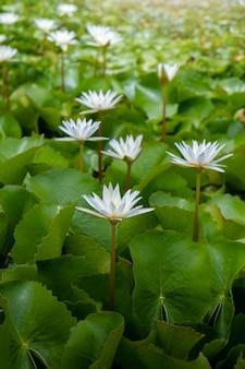 農業用蓮池の白い蓮の花