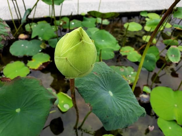 녹색 잎이 있는 흰색 연꽃 nelumbo nucifera는 인도 연꽃 또는 수련이라고도 합니다.