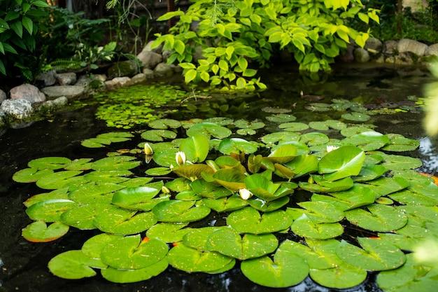 池の表面に黄色い花粉が付いた白い蓮。美しい花白いスイレン、一般的にスイレンまたは緑の葉の間のスイレンと呼ばれます。自然の裏庭の水池