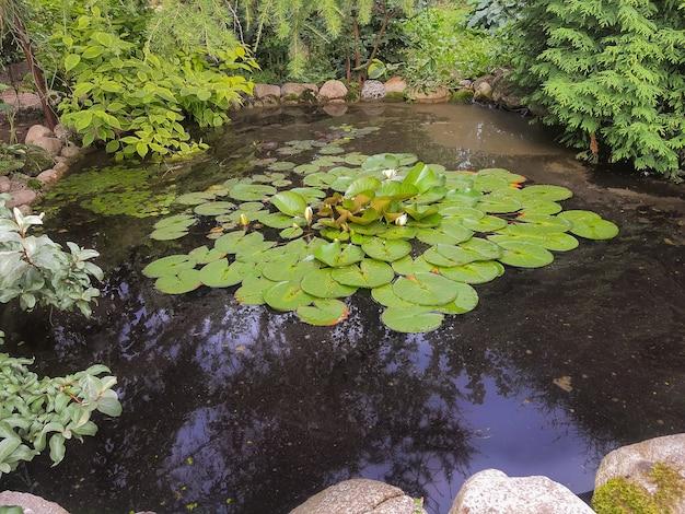 池の表面に黄色い花粉が付いた白い蓮。美しい花白いスイレン、通称スイレン。石の海岸と多くの装飾的な常緑樹がある小さな庭の池。