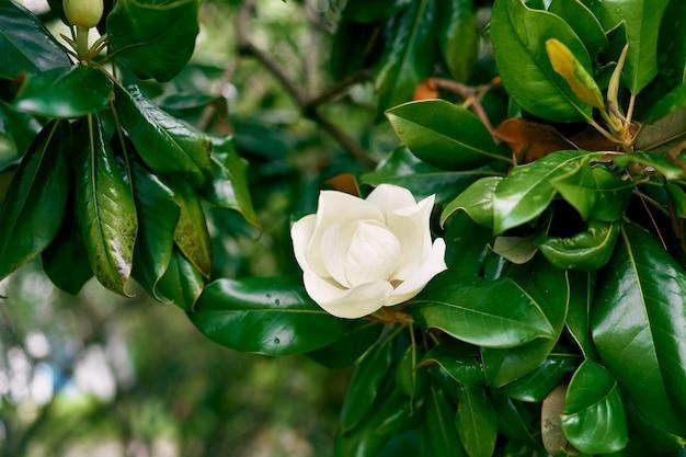 녹색 지점에 흰색 목련 꽃