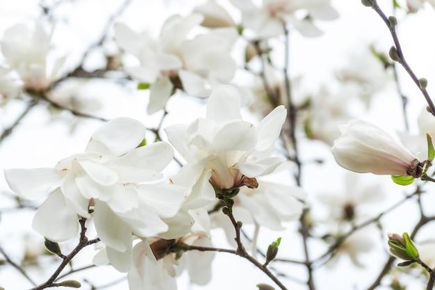 하늘 배경에 나무에 흰색 목련 꽃입니다.