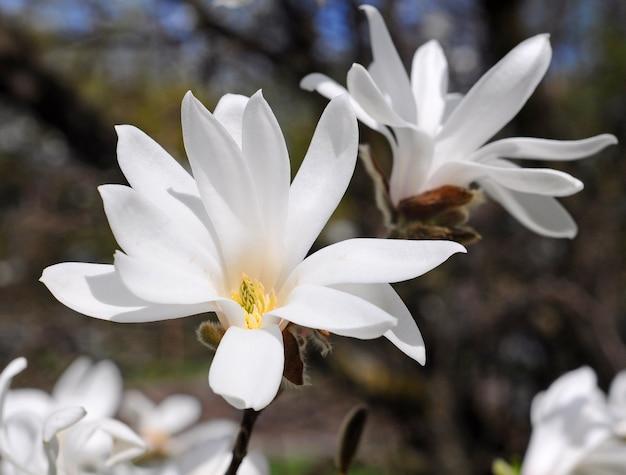 白いモクレンの木の花がクローズアップ。