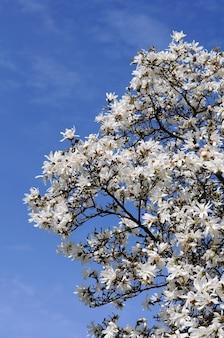 白いモクレンの木の花。