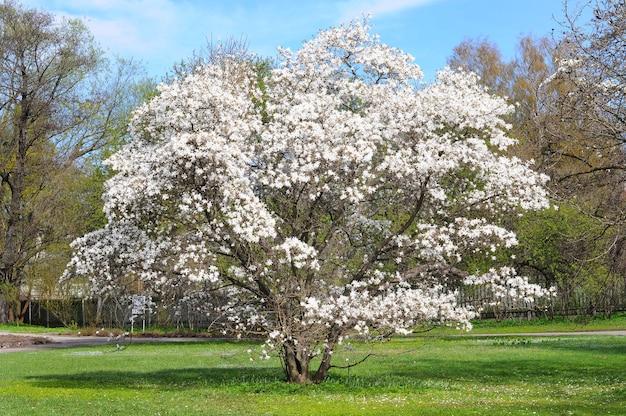 公園に花が咲く白いモクレンの木。
