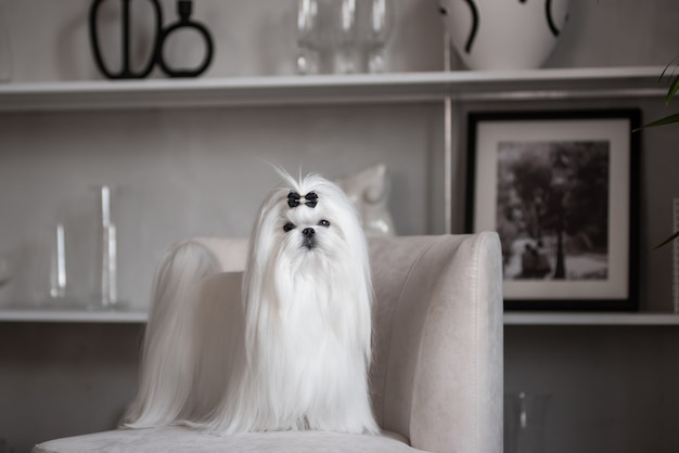 A white maltese dog in a beautiful interior. gorgeous grooming.