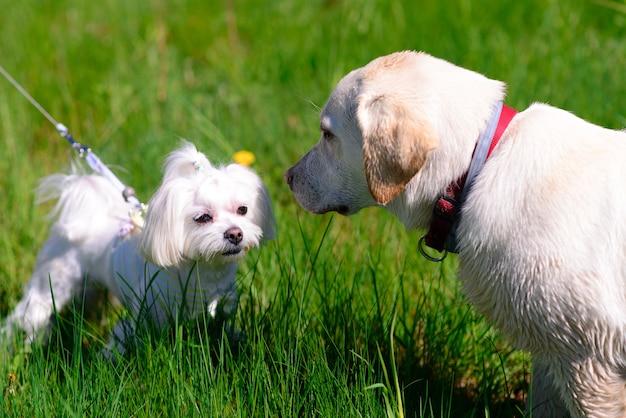 풀밭에서 흰색 몰타어 개
