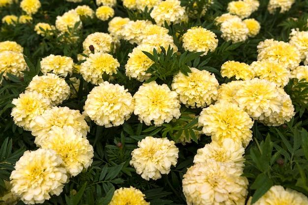 花壇に白いマリーゴールド。花と大草原。
