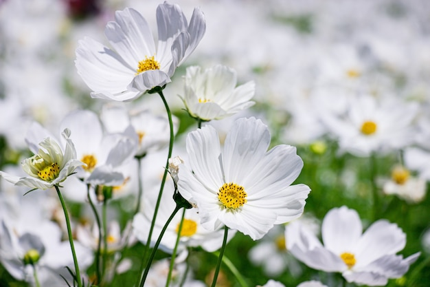 Белые мексиканские цветы астры в саду ярким солнечным днем