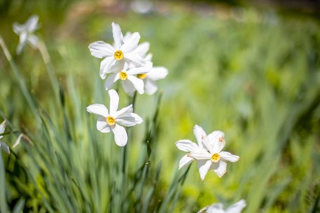 Белые мини-нарциссы растут на траве на фоне зеленой клумбы