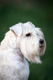 화이트 미니어처 슈나우저 강아지 초상화