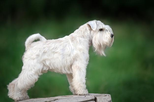 흰색 미니어처 슈나우저 멋진 개