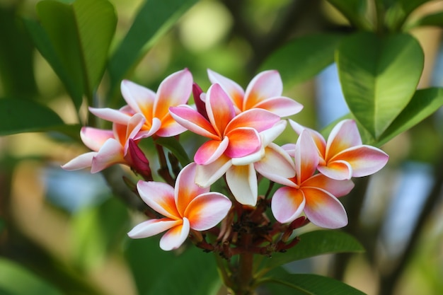 White mix yellow of plumeria flowers that are blooming in the backyard