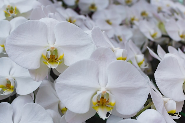 White moth orchid.
