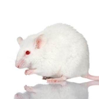 Белая мышь на белом фоне