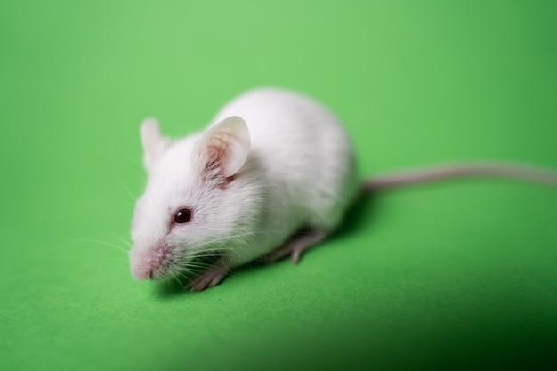 녹색 표면에 흰색 마우스 프리미엄 사진