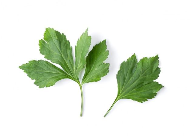 흰 쑥 잎 격리