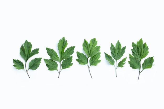 흰색 표면에 흰색 쑥 잎